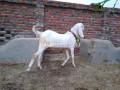 pure-white-rajan-puri-bakra-for-detail-whatsapp-number-03000292051-small-1