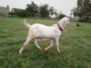 Pure white rajan puri bakra for detail WhatsApp number 03000292051