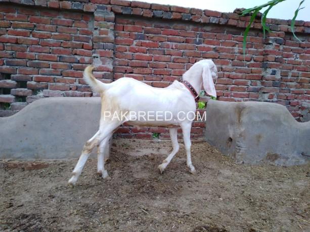 pure-white-rajan-puri-bakra-for-detail-whatsapp-number-03000292051-big-1