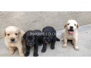 Healthy Labrador puppies
