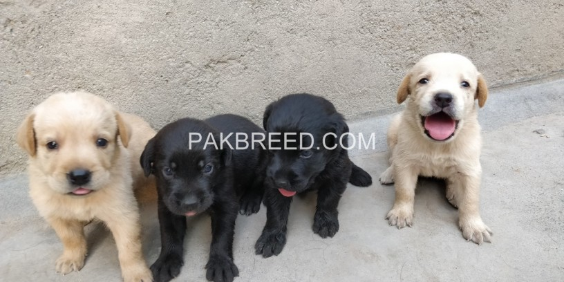healthy-labrador-puppies-big-0