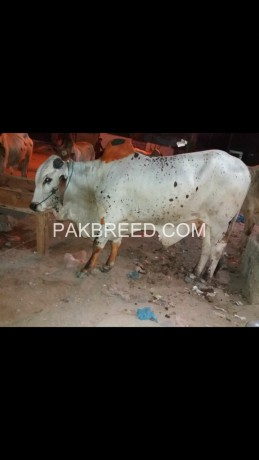 selling-beautiful-cow-on-reasonable-price-big-1