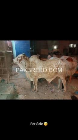 selling-beautiful-cow-on-reasonable-price-big-2