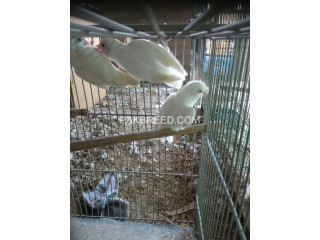 Albino red eyes first breeder for sale