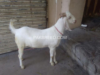 Gulabi cross breed