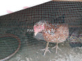 active-2-aseel-hens-small-2