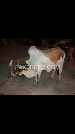 cow-for-sell-big-0