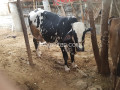 cow-for-sell-2-lac-10000-small-0