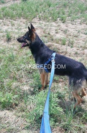 german-shepherd-male-big-1