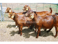 boer-goats-kalahari-red-goats-small-2