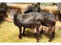 boer-goats-kalahari-red-goats-small-4
