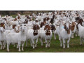 boer-goats-kalahari-red-goats-small-1