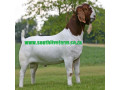boer-goats-kalahari-red-goats-small-0