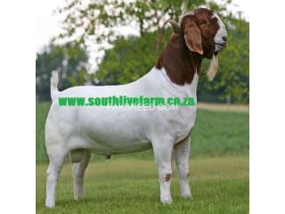 Boer Goats , Kalahari Red Goats