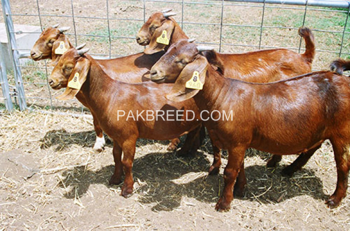 boer-goats-kalahari-red-goats-big-2