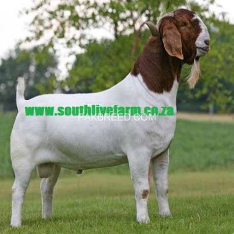 boer-goats-kalahari-red-goats-big-0