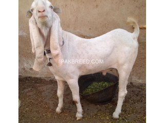 Gulabi cross breed, Karachi