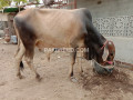qurbani-k-liye-do-dant-k-janwar-small-0