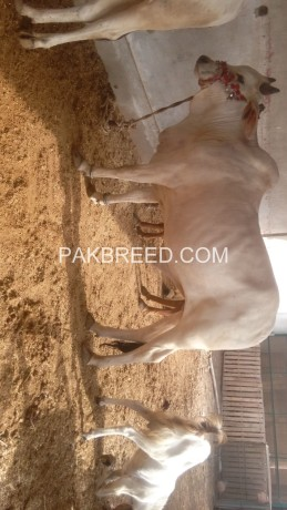 qurbani-k-liye-do-dant-k-janwar-big-1