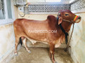 cow-bachra-for-sale-in-best-price-small-2
