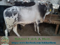 bukhari-dairy-cattle-farm-small-2