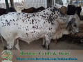 bukhari-dairy-cattle-farm-small-4