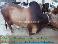 bukhari-dairy-cattle-farm-small-0