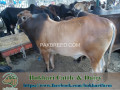 bukhari-dairy-cattle-farm-small-1