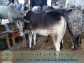 bukhari-dairy-cattle-farm-small-3