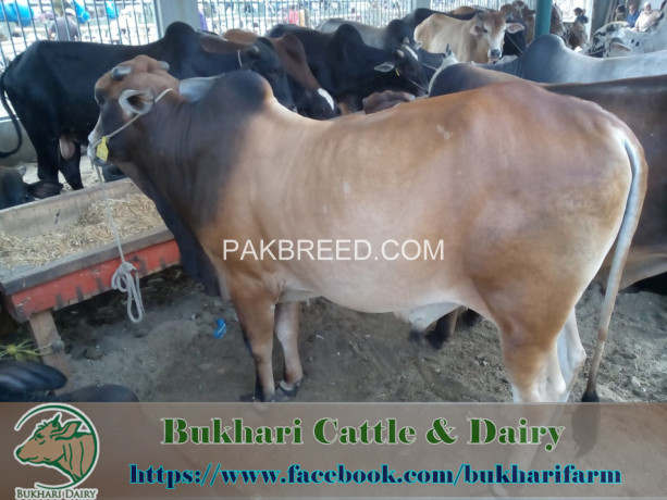 bukhari-dairy-cattle-farm-big-1