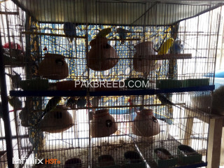 Six pair undersize budgries with six pair cage setup..