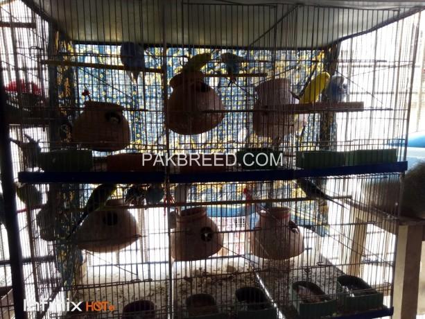 six-pair-undersize-budgries-with-six-pair-cage-setup-big-0