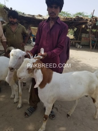 bakra-for-qurbani-big-3