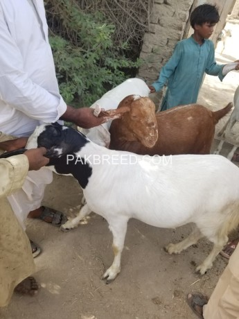bakra-for-qurbani-big-2