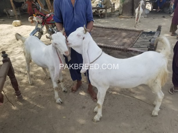 bakra-for-qurbani-big-1
