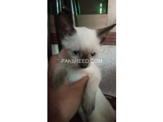 Siamese kitten for sale