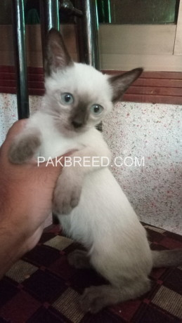 siamese-kitten-for-sale-big-1