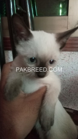 siamese-kitten-for-sale-big-0
