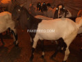 different-type-of-goats-for-qurbani-available-small-1