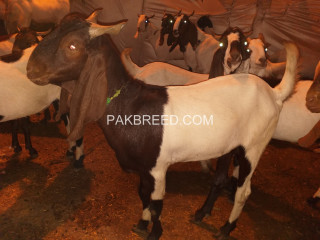 Different type of goats for qurbani available