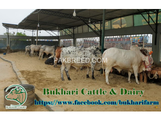 BUKHARI DAIRY & CATTLE FARM