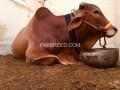 pure-cholistani-breed-2-daant-bachara-small-1