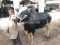 selling-bull-for-qurbani-small-0