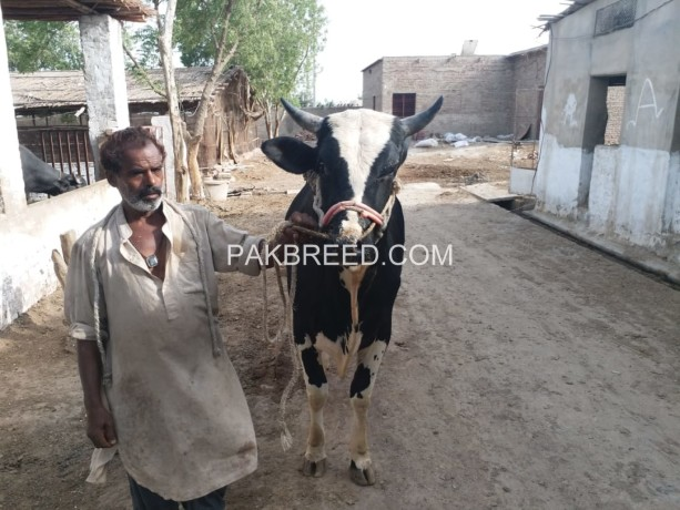 selling-bull-for-qurbani-big-2