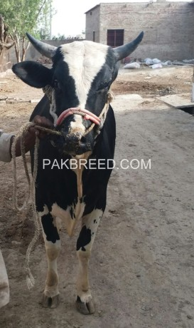 selling-bull-for-qurbani-big-1