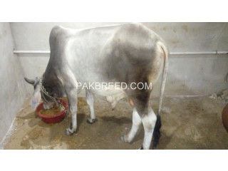 Free ads Cattle (cows and bulls), Livestock, Pakistan