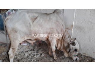 Cow 2k19 qurbani
