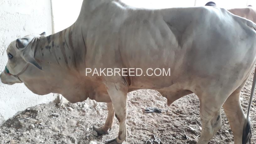 cow-2k19-qurbani-big-1