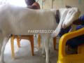 super-3-gullabi-goats-small-1