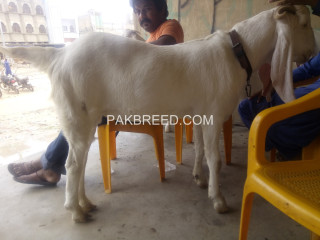 Super 3 Gullabi Goats